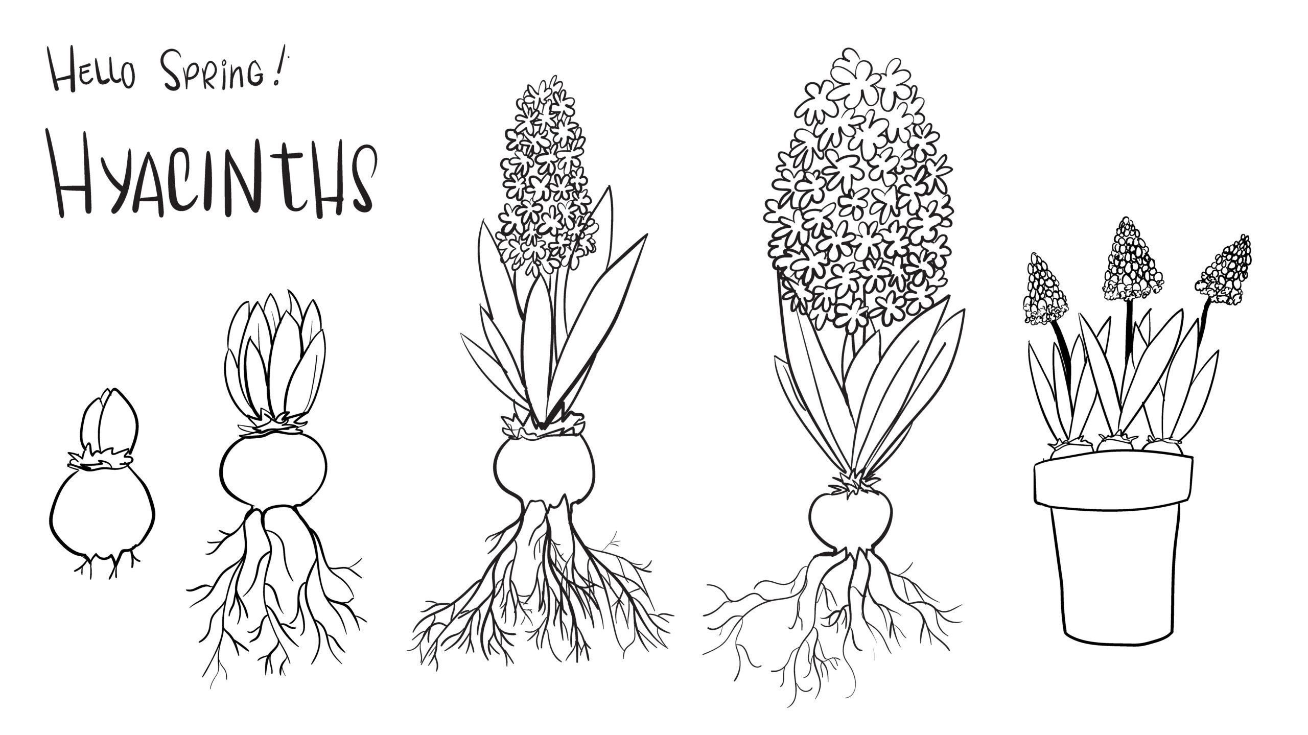 example of stock illustration: a hand drawn illustration of the growth of a hyacinth bulb